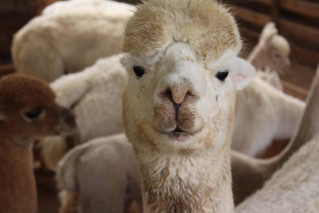 Quintessence Alpaca Farm